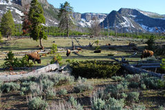 Buffalo di Yellowstone Fotografia Stock