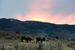 Buffalo di Yellowstone ad alba Immagini Stock Libere da Diritti