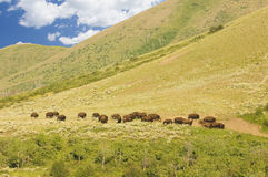 Buffalo at a distance Royalty Free Stock Image