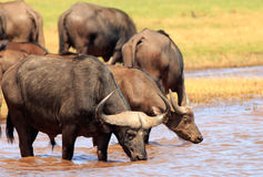 Buffalo drinking from Lake Kariba in Zimbabwe Royalty Free Stock Photography