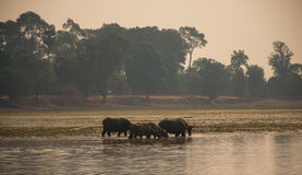 Buffalo drinking from lake at sunrise time in Angkor Wat,Cambodia Stock Photo