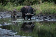 Buffalo drinking water Stock Photos
