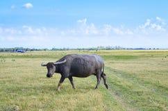Buffalo on dry field, Thailand Royalty Free Stock Photo
