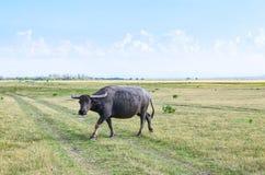 Buffalo on dry field, Thailand Royalty Free Stock Photos
