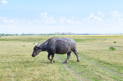 Buffalo on dry field, Thailand Stock Images