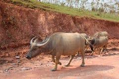 Buffalo du Laos Photo libre de droits