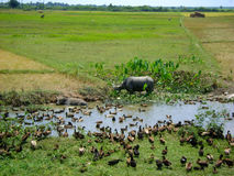 Buffalo and ducks. In rice fields stock images