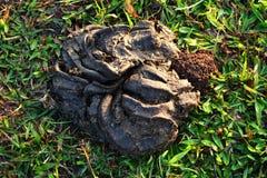 Buffalo dung Stock Image