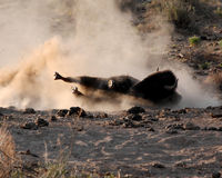 Buffalo Dust Bath. A buffalo (American Bison) rolls on its side in the dust to clean itself Stock Images