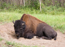 Buffalo in a dust bed Royalty Free Stock Photography