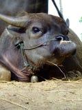 Buffalo. Dwaff black buffalo in Thailand Stock Photography
