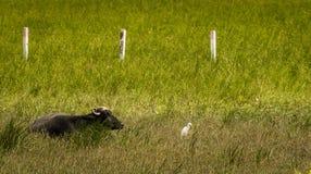 Buffalo e egretta Immagini Stock Libere da Diritti