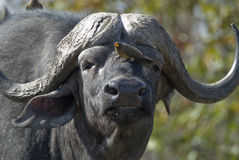 Buffalo e oxpecker africani Fotografie Stock
