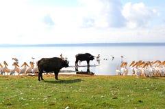Buffalo e pellicani Immagini Stock Libere da Diritti