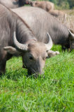Buffalo eating Royalty Free Stock Photos