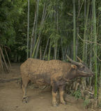 Buffalo is eating. Farm animals, Inle Lake, Myanmar (Burma Royalty Free Stock Photos