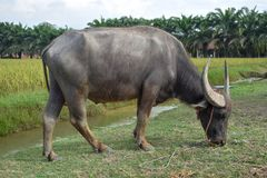 Buffalo is eating grass along the canal. Rice fields and trees are the background. royalty free stock image