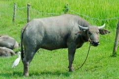 Thai buffalo  countryside. Royalty Free Stock Photos