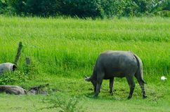 Thai buffalo  countryside. Royalty Free Stock Photo