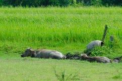Thai buffalo  countryside. Stock Photos
