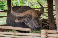 Buffalo eating Stock Images