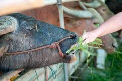 Buffalo eating grass Royalty Free Stock Image
