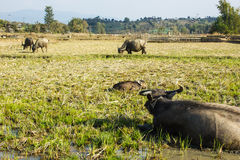 Buffalo eating grass in field. At Thailand Royalty Free Stock Photography