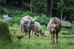Buffalo eating grass in fields at Chiang Mai. Buffalo eating grass in fields at Chiang Mai,Thailand Royalty Free Stock Images