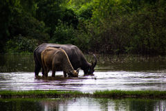 The buffalo is eating grass in flooded fields, watering grasshop Royalty Free Stock Photos