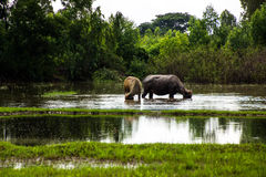 The buffalo is eating grass in flooded fields, watering grasshop Stock Images
