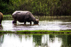 The buffalo is eating grass in flooded fields, watering grasshop Stock Photos