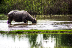 The buffalo is eating grass in flooded fields, watering grasshop Stock Photo
