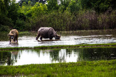 The buffalo is eating grass in flooded fields, watering grasshop Royalty Free Stock Image