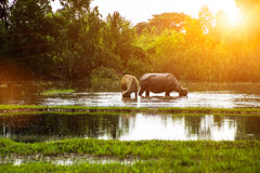 The buffalo is eating grass in flooded fields, watering grasshop stock image
