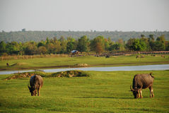 Buffalo eating the grass in green meadow near the river Royalty Free Stock Photography