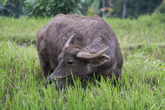 A buffalo eating grass Stock Photos