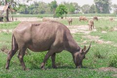 buffalo royalty free stock photo