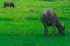Buffalo is eating grass. stock photo