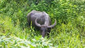 Buffalo eating grass nibble. Stock Photos