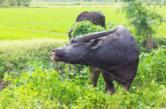 Buffalo eating grass nibble. Royalty Free Stock Images