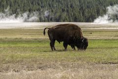 Buffalo eating in a praire stock photography