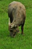 Buffalo eating green grass Stock Image
