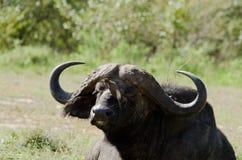 Buffalo ed uccello Immagini Stock Libere da Diritti