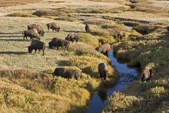 Buffalo en vallée de Lamar images stock