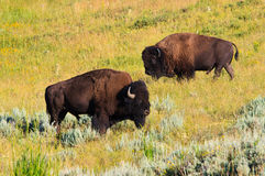 Buffalo en vallée de Lamar, Yellowstone NP, Wyoming Photos libres de droits
