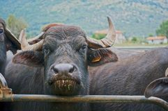 Buffalo in the enclosure Stock Photography