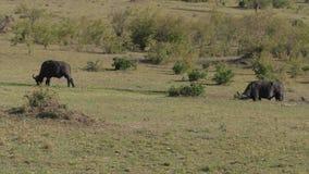 Buffalo enorme che pasce in una savana africana 4K del campo verde stock footage