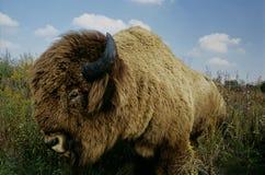 Buffalo in erba Fotografia Stock Libera da Diritti