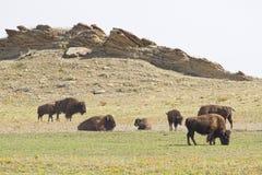 Buffalo errant Image libre de droits