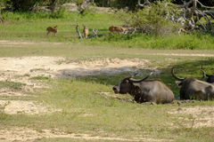 Buffalo et cerfs communs photo stock